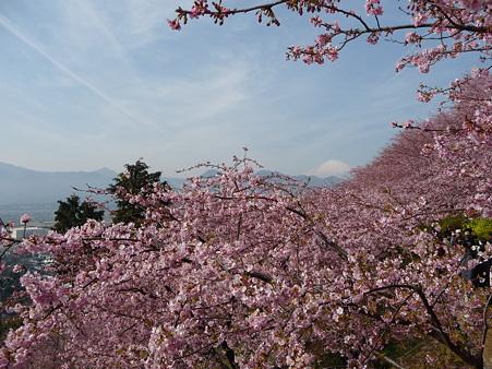 100223-松田山 河津桜 (39)