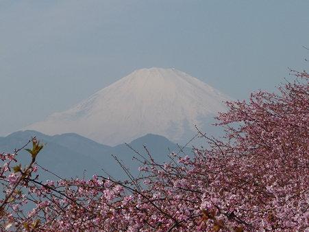 100223-松田山 河津桜 (41)