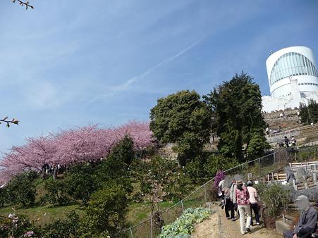100223-松田山 河津桜 (109)