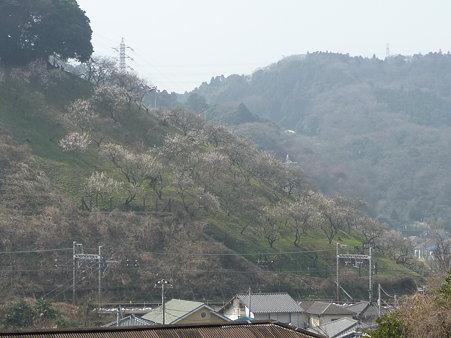 100301-田浦梅林 (6)