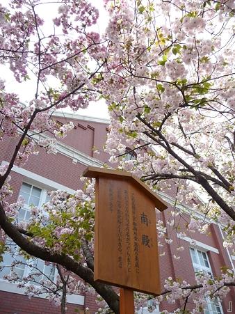 110417-造幣局 桜の通り抜け (93)