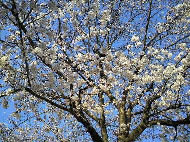 写真: 桜―2011/4/191