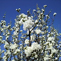 写真: 桜―2011/4/192