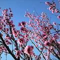 写真: 桜―2011/4/193