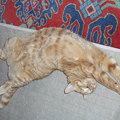 写真: 無防備なトラ猫