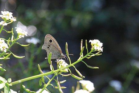 2012.05.19 和泉川 オランダガラシにヒメウラナミジャノメ