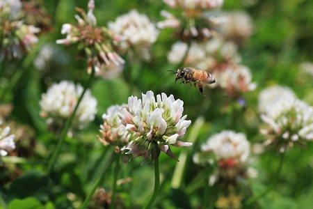 2012.05.23 和泉川 シロツメクサとミツバチ