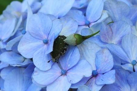 2012.06.26 和泉川 アジサイ エゴノキの実とコアオハナムグリ