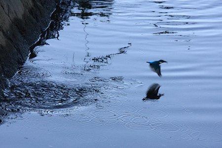 2009.11.15 和泉川 カワセミ 狩
