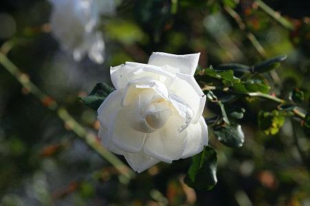 2009.11.21 港の見える丘公園 白い薔薇