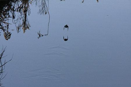 2010.01.01 和泉川 カワセミ 軌跡