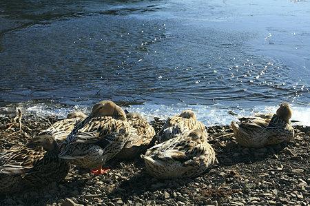 2010.01.02 精進湖 湖畔でマガモ