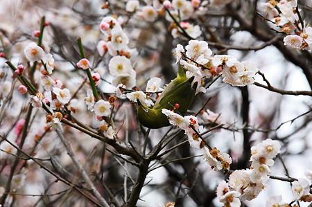 2010.03.05 鎌倉 宝戒寺 梅とメジロ