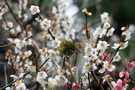 2010.03.05 鎌倉 宝戒寺 メジロ花粉塗れ