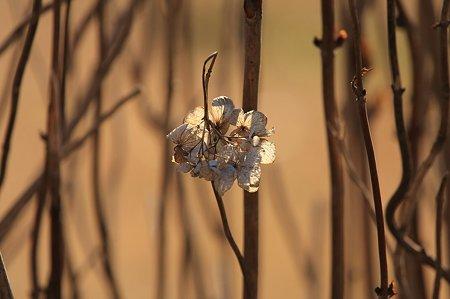 2010.12.29 和泉川 紫陽花