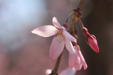 2011.04.04 和泉川 枝垂桜