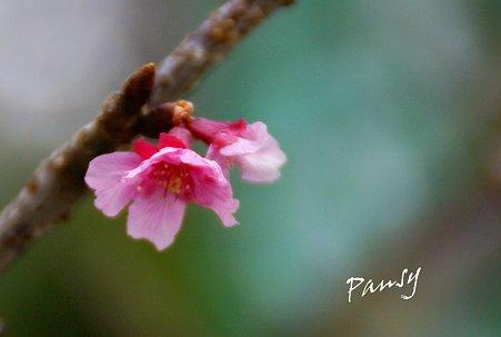 咲き始めの河津桜・・