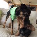 Photos: 大きな犬とでも平気で遊ぶ♪