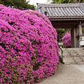 Photos: 山門はツツジ/オオムラサキの垣根で彩る!