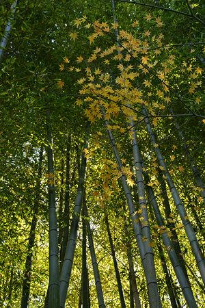 黄葉と竹林、報国寺091212-776