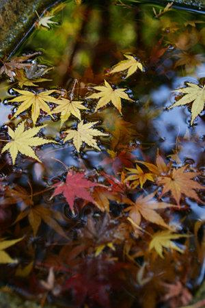 水鉢の落ち紅葉!(091212)