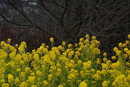 菜の花畑!(100116)