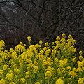 Photos: 菜の花畑!(100116)