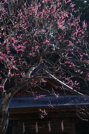 紅梅が見頃、荏柄天神社!(100124)