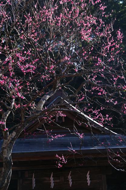 写真: 紅梅が見頃、荏柄天神社!(100124)
