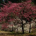 Photos: 紅梅のシンボルツリー!(100314)