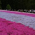 Photos: 芝桜のジュータン4!(100504)