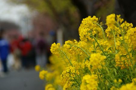 桜祭りに菜の花も!(110219)