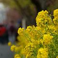 Photos: 桜祭りに菜の花も!(110219)