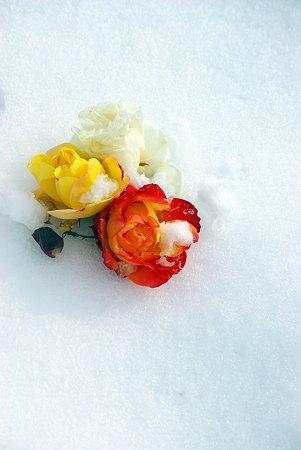 雪原に薔薇