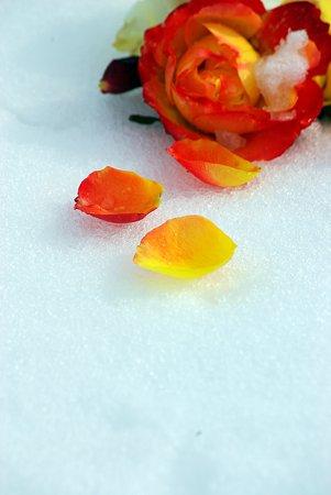 雪の上の花びら