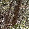 写真: 100116-44大岳山・馬頭刈尾根 エナガ