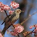 写真: 100228ヒヨドリと河津桜4