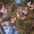 写真: 100228ヒヨドリと河津桜8
