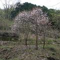Photos: 100430-22御前山・山桜