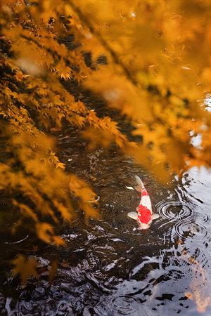 紅葉降る池