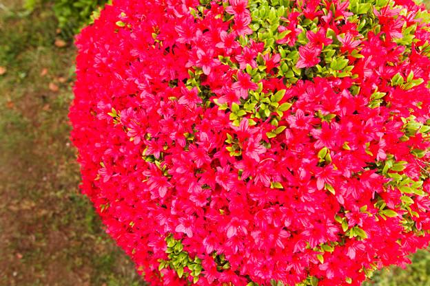 Photos: 春の赤い玉