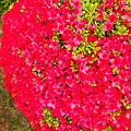 春の赤い玉
