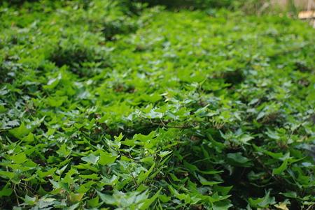 緑のじゅうたん…
