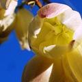 写真: 君が代蘭咲きました(1)