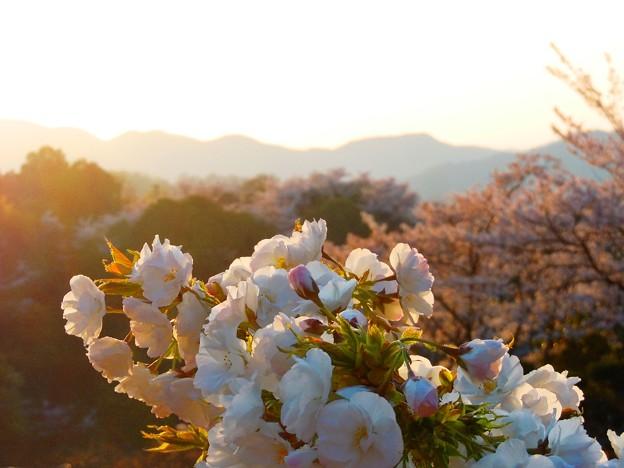 夕陽に映えて~千光寺山~