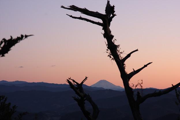 古木より 富士山