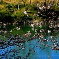 宇治川の桜