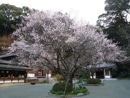 鎮国寺の緋寒桜と梅(5)