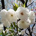 舞鶴公園の桜(3)ぼたん・しゃくやく園