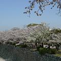 舞鶴公園の桜(13)